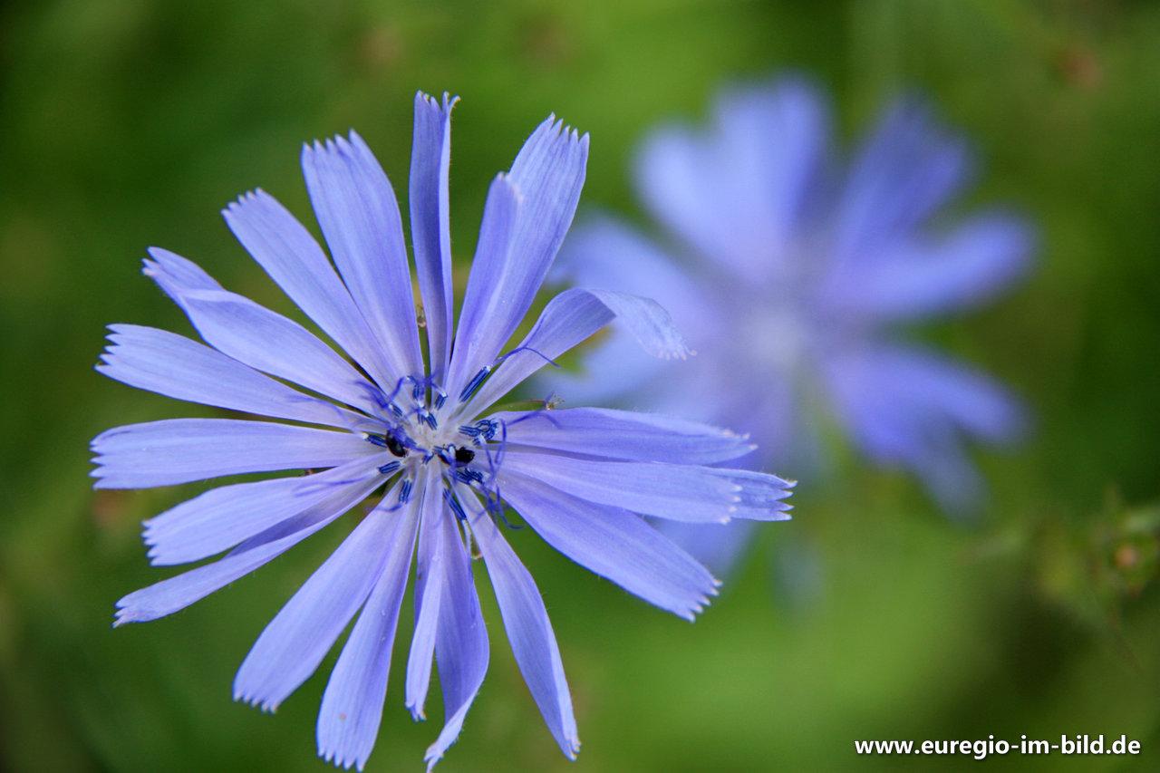 Blüte Der Wegwarte Euregio Im Bild
