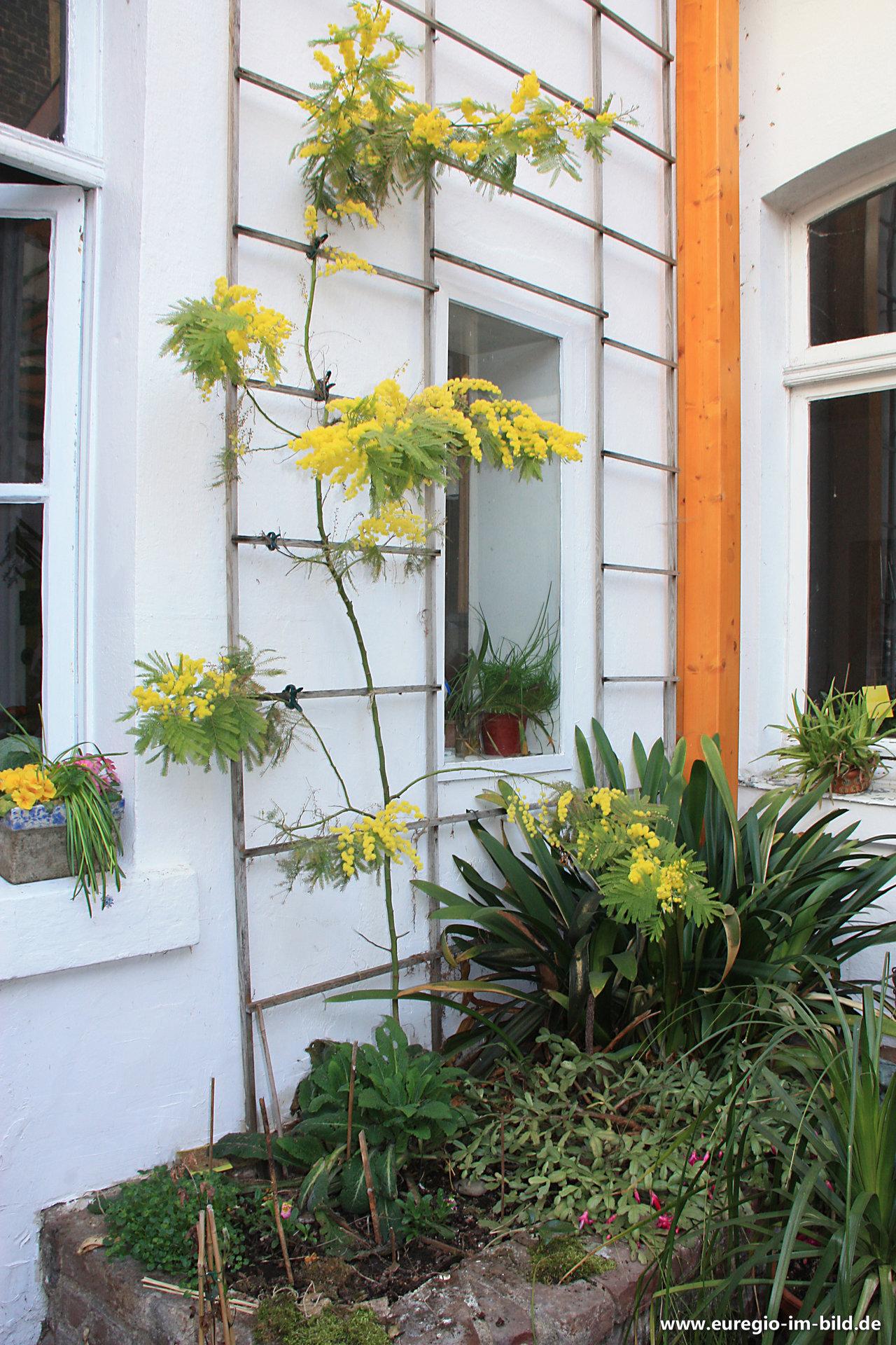 Mimose bzw silber akazie in einem wintergarten euregio im bild - Wintergarten fotos ...