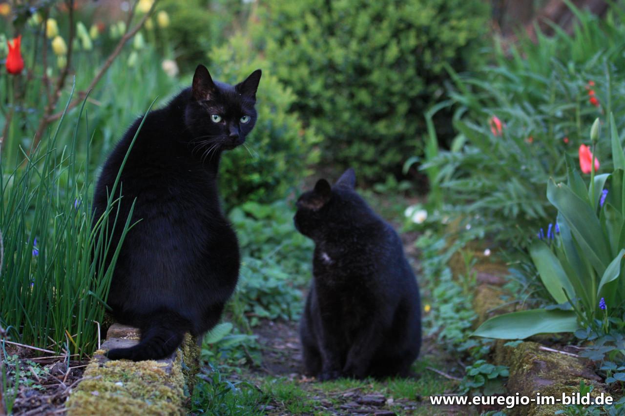 zwei schwarze katzen im garten euregio im bild. Black Bedroom Furniture Sets. Home Design Ideas