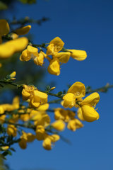 Besenginster, Cytisus scoparius